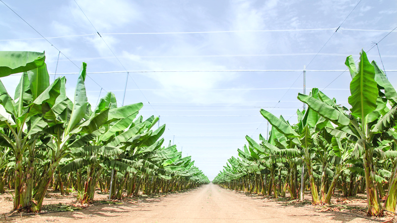Road stretches to the horizon in palm orchard between banana trees rows plantations in Middle East